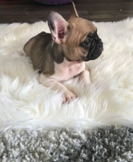 French Bulldog PUPPY FOR SALE ADN-89127 - French bulldogs
