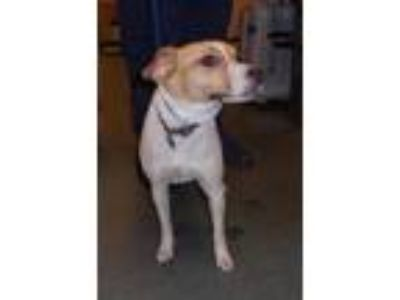 Adopt Spotty a Jack Russell Terrier / Mixed dog in Raleigh, NC (25844193)