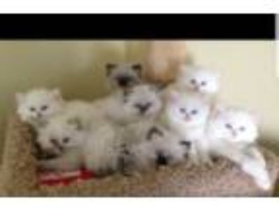 Adorable Cfa Doll Face Persian Kittens