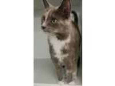 Adopt Lady Catherine a Domestic Short Hair, Dilute Tortoiseshell