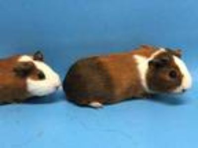 Adopt Lincoln a White Guinea Pig / Mixed small animal in Golden Valley
