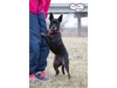 Adopt Raisin a Black - with White Basenji / Boston Terrier / Mixed dog in Lee's