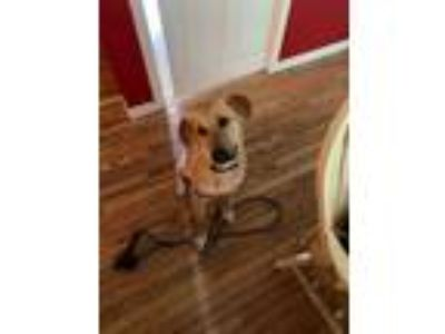 Adopt Lucky a Labrador Retriever