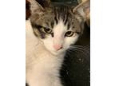 Adopt Baby Beach Ball / Torre a Domestic Short Hair