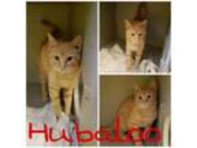 Adopt Hubaloo a Domestic Short Hair