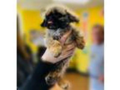 Adopt Farley a Pekingese