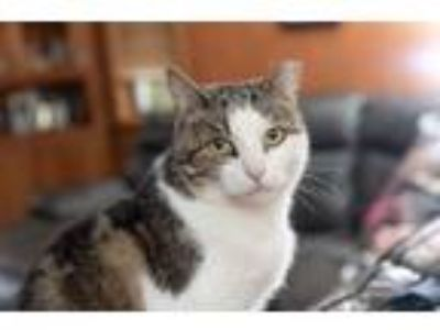 Adopt China a Domestic Short Hair