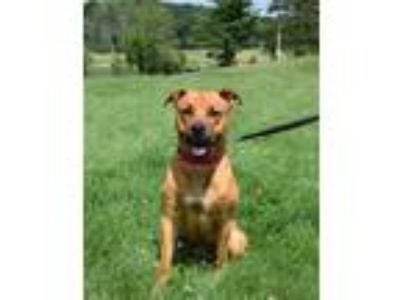 Adopt Brutus a Boxer, German Shepherd Dog