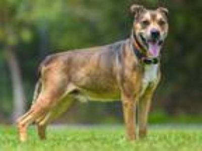 Adopt GONJI a Brown/Chocolate - with Black German Shepherd Dog / American Pit