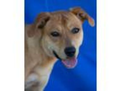 Adopt India a Labrador Retriever, Mixed Breed