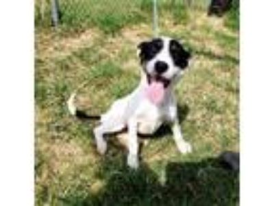 Adopt Loki a White - with Black Wirehaired Fox Terrier dog in Moorestown
