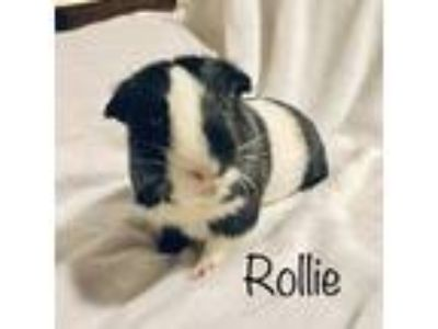 Adopt Rollie and Bingo a Black Guinea Pig small animal in Aurora, IL (25890158)
