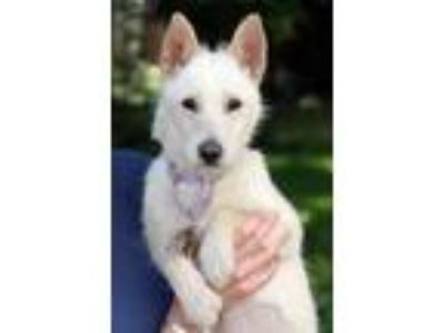 Adopt Lotus a White - with Tan, Yellow or Fawn Jindo / Mixed Breed (Small) /