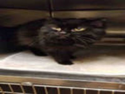 Adopt *PAGE a All Black Domestic Longhair / Mixed (long coat) cat in South Salt
