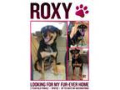 Adopt Roxy a Black - with Tan, Yellow or Fawn Shepherd (Unknown Type) / Rat