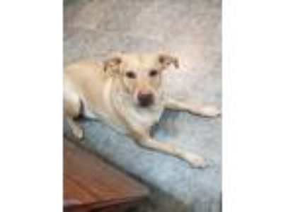 Adopt Lil Bud a White - with Tan, Yellow or Fawn Labrador Retriever / Husky /