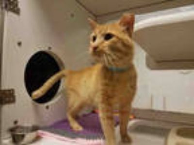 Adopt *WALLY a Orange or Red Domestic Shorthair / Mixed (short coat) cat in