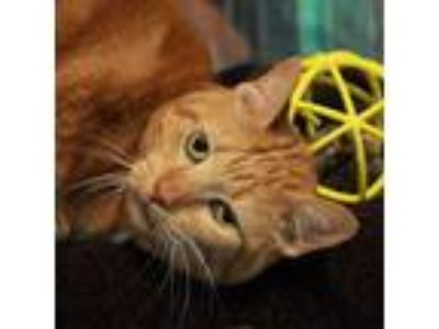 Adopt Marmie a Domestic Short Hair