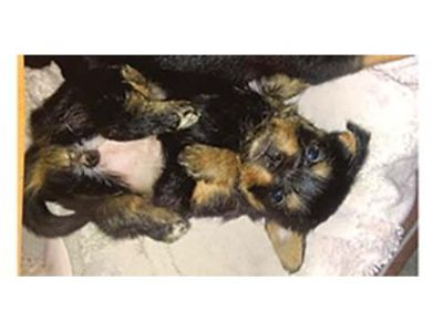 VERY TINY 1/2 PUREBRED YORKIE/ HALF RAT-CHA ...