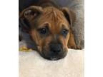 Adopt Halo a Tan/Yellow/Fawn - with Black Boxer / Pit Bull Terrier / Mixed dog