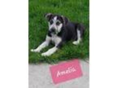 Adopt Amelia a Black German Shepherd Dog / Husky / Mixed dog in Normal