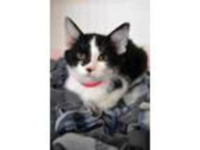 Adopt Arley a All Black Domestic Shorthair / Domestic Shorthair / Mixed cat in
