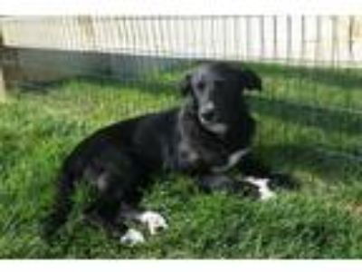 Adopt Charlie a Black - with White Border Collie / Labrador Retriever / Mixed
