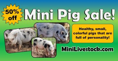 Half off Mini Pigs!