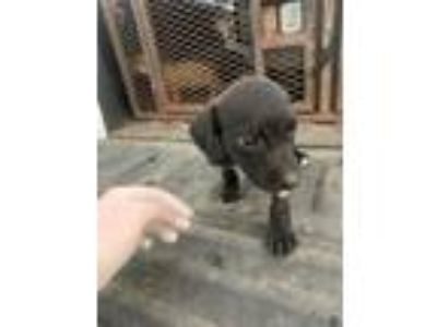 Adopt Lemay Pup #3 a Terrier, Mixed Breed