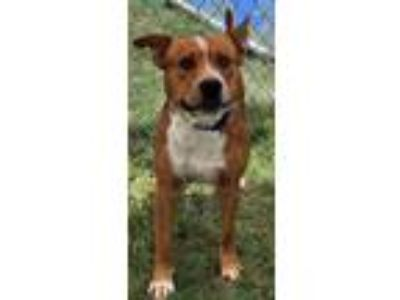Adopt Parker a Pit Bull Terrier