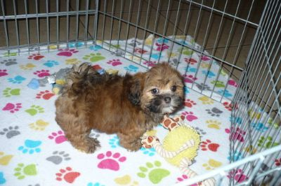 Lhasa Apso PUPPY FOR SALE ADN-100116 - Lhasa Apso Puppy