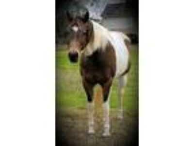 Registered APHA 2005 Buckskin Tobiano Mare