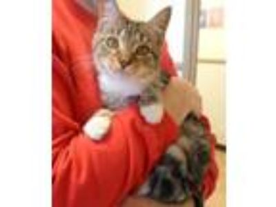 Adopt Lizzy a Domestic Short Hair