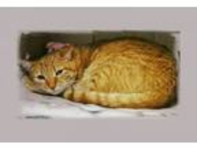 Adopt Toby a Domestic Short Hair