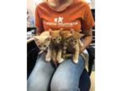 Adopt Jaime a Orange or Red Domestic Shorthair / Domestic Shorthair / Mixed cat