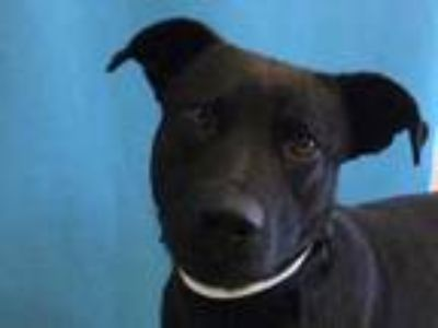 Adopt Bear a Black Labrador Retriever / Mixed dog in St. Paul, MN (25545170)