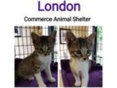 Adopt London a Domestic Shorthair / Mixed (short coat) cat in Commerce