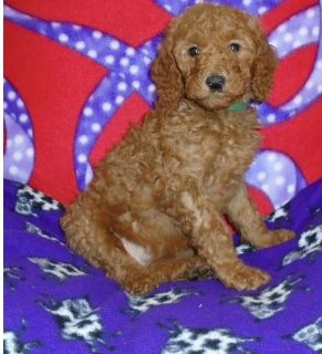 Cool Standard Poodle puppies....!@#@!