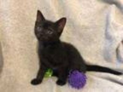 Adopt PETER PAN a All Black Domestic Shorthair / Mixed (short coat) cat in West