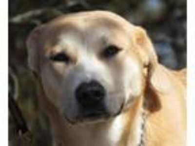 Adopt Marilyn a Labrador Retriever, Mountain Cur