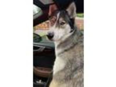 Adopt Kona a Black - with White Husky / German Shepherd Dog dog in Crystal
