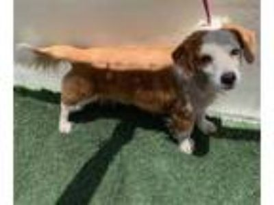 Adopt a Tan/Yellow/Fawn Dachshund / Brittany / Mixed dog in Visalia
