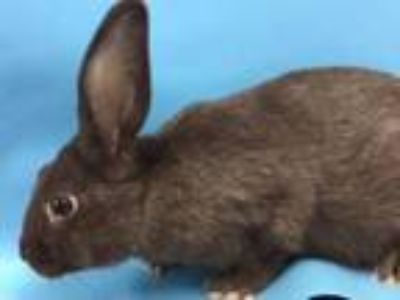 Adopt Prom-ise a Bunny Rabbit