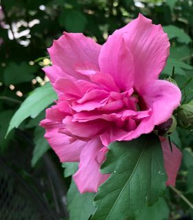 BEAUTIFUL Rose of Sharon tree! This has the most gorgeous flowers, comes back every year with no additional planting! A real showstopper