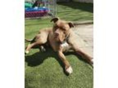 Adopt ***Courtsey Post*** Louie a Pit Bull Terrier, Boxer