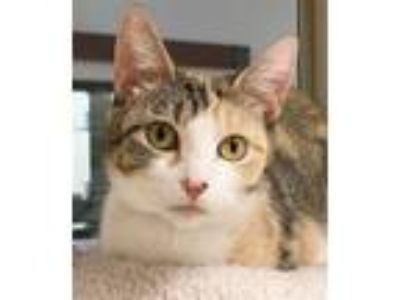 Adopt Baby Kitty a Domestic Shorthair / Mixed cat in Houston, TX (25791073)