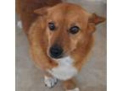 Adopt WINSTON a Corgi, Mixed Breed