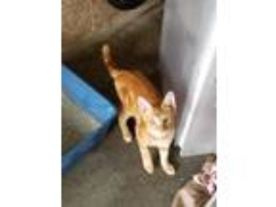Adopt Butterscotch a Domestic Short Hair
