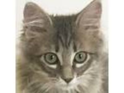 Adopt Firefly a Gray, Blue or Silver Tabby Domestic Longhair (long coat) cat in