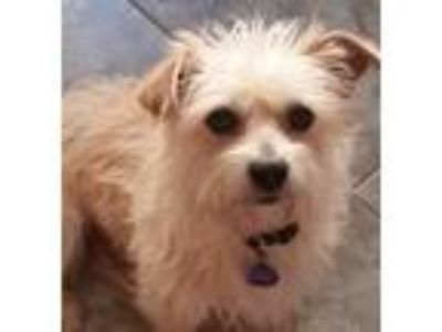 Adopt Max a Tan/Yellow/Fawn - with White Shih Tzu / Cairn Terrier / Mixed dog in